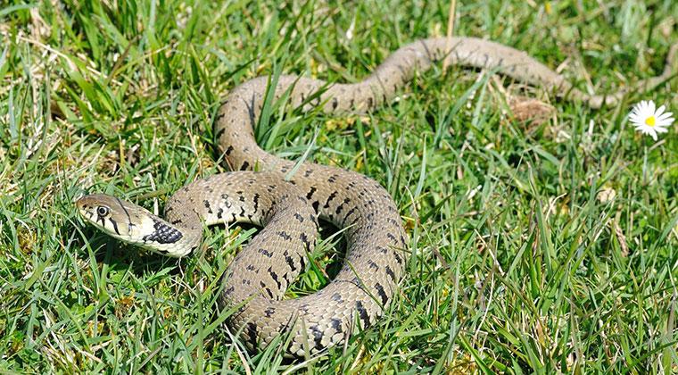 Օձի խայթոցից թունավորումների ցուցանիշն աճել է