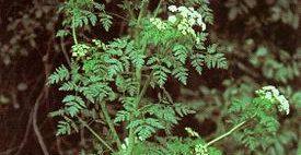 12-ամյա երեխայի մահվան պատճառը «գինեզոխ» անվանմամբ բույսն է